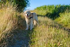 Golden Retriever Sammy (thteubert) Tags: 2018 aufnahmejahr dog motiv hunde tiere goldenretriever