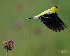Goldfinch Take-off 2 (dcstep) Tags: dsc1000dxo goldfinch americangoldfinchmaleall rights reservedcopyright 2018 david c stephenscherry creek state parkcoloradousaaurorabifbirdinflightflyingflightfinchhandhelddxo photolabdxo prime noise reductionsrainnatureurbanurban nature wings