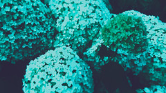 Hydrangea or Hortensia (Peeano Photography - ピアーノ写真) Tags: hydrangeaorhortensia hydrangea flora aqua canonphotography canon miniature blur love sunday withklaire