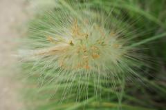 Flowering Pennisetum villosum - Poaceae (Monceau) Tags: flowering flowers strands pennisetumvillosum poaceae bokeh burst jardindesplantes