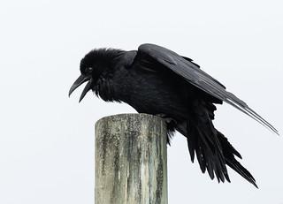 Mendocino Raven