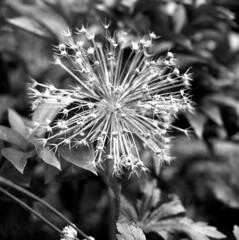 120718010 (salparadise666) Tags: mamiya c330 sekor 80mm fomapan 200160 caffenol cl 30min nils volkmer bw black white monochrome vintage tlr medium format square 6x6 film analogue camera floral home garden closeup