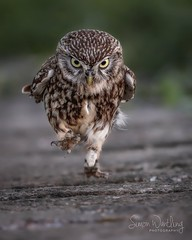 Owl on a mission (sw_wildlifephotos) Tags: owls littleowls nature wildlife