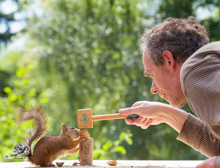 red squirrel and person with a hammer and a walnut