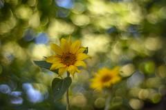 🌻 Sunflower / Csongrád County  🌻 🌞 (Torok_Bea) Tags: carlzeissplanar carlzeiss planar sunflower sunflowers csongrádcounty bokeh bokehflower bokehflowers bokehbliss nikon nikond7200 d7200 nikonflowers magic magicflower