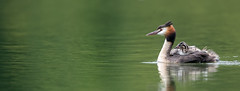 Great Crested Grebe (Simon Stobart) Tags: great crested grebe podiceps cristatus lake north england uk green babies naturethroughthelens