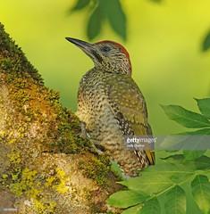 Green Woodpecker juvenile male (Gary Chalker, Thanks for over 3,000,000. views) Tags: greenwoodpecker woodpecker pentax pentaxk3ii k3ii pentaxfa600mmf4edif fa600mmf4edif fa600mm 600mm