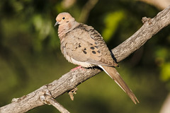 Mourning Dove (Zenaida macroura) (Brown Acres Mark) Tags: mourningdove zenaidamacroura emigrantlake jacksoncounty oregon usa markheatherington