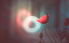 Donut bokeh (Dhina A) Tags: sony a7rii ilce7rm2 a7r2 a7r tamron sp 500mm f8 tamronsp500mmf8 prime ad2 adaptall2 mirrorlens 55bb catadioptric reflex cf tele macro donut bokeh flower