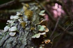 Mushrooms (jna.rose) Tags: mushrooms log wood woods nature naturallight nikon outdoor fungus fungi shroom colors growth growing closeup d5300