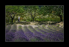 Provencal  lavender (tkimages2011) Tags: france provence lavender man field trees row colour outdoor outside landscape green canon 1d