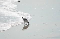 DSC_9858 (padraicsmeehan) Tags: beach sunandsurf sand birds coast longisland atlanticbeach ny newyork unitedstates usa america beachclub pipingplover charadriusmelodus shorebirds coastal southshore wading ocean atlanticocean
