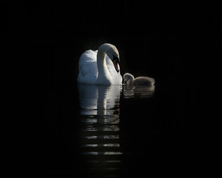 Mute swan and signet