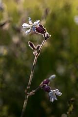 2018-06-16--Pagny0160.jpg (heiserge) Tags: france pagnylablanchecôte macro flowers nature meuse europe fleurs lorraine macrophotographie