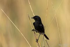 Pied Bush Chat (PB2_2727) (Param-Roving-Photog) Tags: pied bushchat bird wildlife nature safari jungle forest grass grassland birding birdphotography wildlifephotographer perch naturallight nikond7200 tamron150600