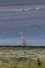 IMG_2465 (armadil) Tags: mavericks beach beaches bird birds flying californiabeaches heron greatblueheron blueheron