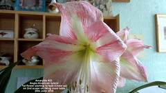 Amaryllis #33 Anglo-American hybrid 1st flower starting to fade (Close up) on 2nd scape on living room table 20th June 2018 (D@viD_2.011) Tags: amaryllis 33 angloamerican hybrid 1st flower starting fade close up 2nd scape living room table 20th june 2018
