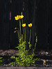 yellow flowers 3 views-5270232 (E.........'s Diary) Tags: eddie ross olympus omd em5 mark ii spring 2018 yellow poppy