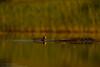 Common Coot (Fulica atra) Laukys