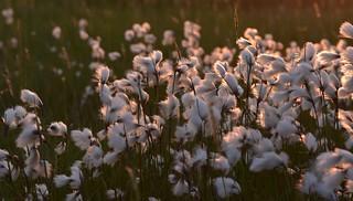 Im Südermoor - Wollgras-Wattebäusche bei Sonnenuntergang, Schmalblättriges Wollgras; Norderstapel, Stapelholm (56)