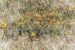 Protest (p) (davidseibold) Tags: america california californiapoppy colororange flower grass jfflickr kerncounty nature painting photosbydavid plant poppy postedonflickr unitedstates usa wildflower windwolvespreserve bakersfield