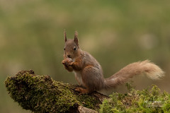 Red Squirrel (Ian howells wildlife photography) Tags: ianhowells ianhowellswildlifephotography nature naturephotography nationalgeographic unitedkingdom scotland squirrel wildlife wildlifephotography wild