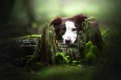 dark forest (mona_hoehler) Tags: dog pet animal border collie girl beauty love cute brown forest rain dark magic german solingen düsseldorf model shooting nikon tamron