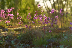 Summer (RdeUppsala) Tags: flowers flores blommor naturaleza nature natur uppland uppsala sweden sverige suecia summer sommar verano