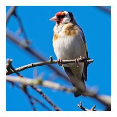 garden bird (Mallybee) Tags: dcg9 g9 lumix panasonic tamron adaptall 300mm bird garden