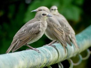 juv. Stare*juv.Starlings