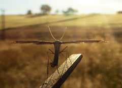Early Morning Plume Moth..x (Lisa@Lethen) Tags: plume moth nature macro morning sunrise summer hot wings long legs