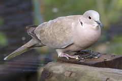 Eurasian Collared Dove (Kev Gregory (General)) Tags: animal avian baby background beak beautiful bird black brick brown cape chick closeup common daily dish dove ecology eurasian european fauna fawn feathers fledgling green grey home natural nature neck necked outdoor peace perch pigeon ring ringnecked ringneckeddove seeds sunflower tree trust turtle turtledove visitor watching white wild wildlife young yard 50500mmf4563apodgoshsm