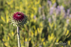 Musk Thistle_T3W0419 (Alfred J. Lockwood Photography) Tags: alfredjlockwood nature flowers muskthistle color bokeh morning summer grandtetonnationalpark wyoming