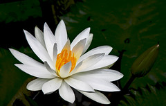 Waterlily (Uhlenhorst) Tags: 2016 indonesia indonesien bali plants pflanzen flowers blumen blossoms blüten travel reisen ngc npc