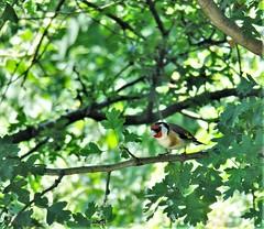 """"""" Erwachen heiterer Empfindungen bei der Ankunft auf dem Lande """" (hope2029) Tags: goldfinch sunshine trees feeding leaves fairburn ings wakefield"""