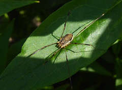 Harvestman (Durley Beachbum) Tags: odc harvestman july bournemouth opiliones