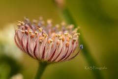 Medusa II (K&S-Fotografie) Tags: pflanze summer blume sommer bud details beauty detail green flower flowers makro