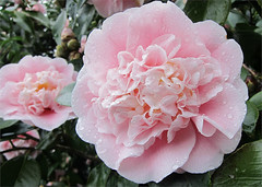 Double Pink (Mary Faith.) Tags: camellia two double drops