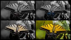 Transformation (Kerstin Winters Photography) Tags: nikondsl nikondigital naturfotografie flickrnature flickr light darks transformation farben colors schmetterling art creativity butterfly collage