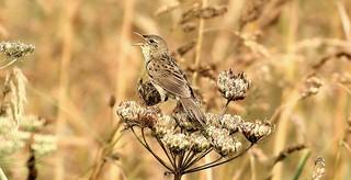 Grasshopper warbler- Locustella naevia