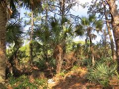 Sabal palmetto --  Cabbage Palm Tree 7314 (Tangled Bank) Tags: yamato coastal scrub forest remnant palm beach county florida wild nature natural park area preserve plant flora botany sabal palmetto cabbage tree 7314