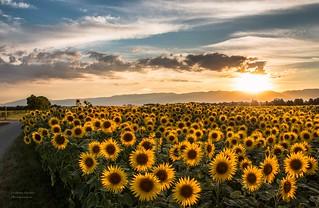 Coucher de soleil sur les tournesols de la campagne genevoise