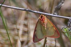 Aasakaruslane; Diacrisia sannio; Clouded Buff ♂ (urmas ojango) Tags: lepidoptera liblikalised insecta putukad insects moth erebidae arctiinae nationalmothweek aasakaruslane diacrisiasannio cloudedbuff diacrisia ebaöölased