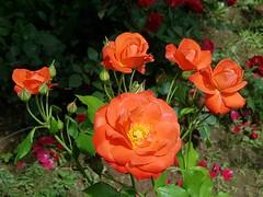 Oranges sous le soleil (Marvinette) Tags: juin june spring plant printemps plants plante jardin garden flore fleur fleurs flower flowers france limousin hautevienne aimezvouslesfleurs androïd orange rose roses roseraie rosier nature