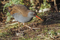 WATER RAIL (_jypictures) Tags: animalphotography animals animal canon canon7d canonphotography wildlife wildlifephotography naturephotography nature photography pictures birdwatching birdingphotography birding birds bird birdphotography birders waterrail ukwildlife ukbirding ukbirds