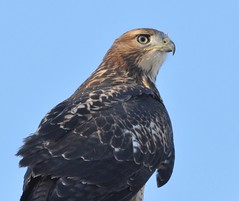 Red-tailed Hawk, Buteo jamaicensis (Dave Beaudette) Tags: birds kennedypark tucson pimacounty arizona redtailedhawk buteojamaicensis