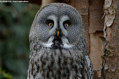 Great Grey Owl - NaturZoo Rheine (Mandenno photography) Tags: animal animals owl owls greatgrey ngc nature naturzoo rheine zoo dierenpark dierentuin dieren duitsland germany