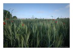 DSCF0893 (Bruno-photos2013) Tags: champ blé coquelicot fleur flower paysage campagne landscape landemont nature maineetloire anjou
