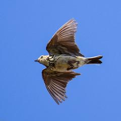Medow Pipit Hodbarrow RSPB F00281 D210bob DSC_3464 (D210bob) Tags: medowpipit hodbarrowrspb f00281 d210bob dsc3464 nikond7200 birdphotography birdphotos naturephotography naturephotos nikon nikon200500f56 wildlifephotography