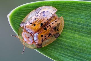 Tortoise beetle